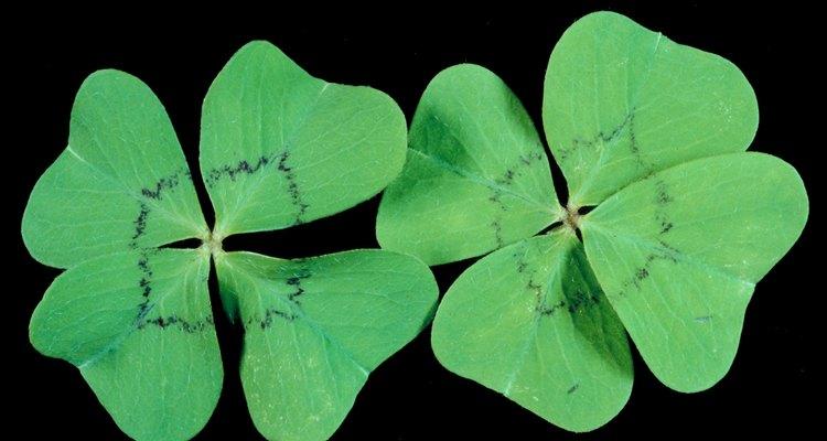 Trevos de quatro folhas são mais raros que a variedade com três