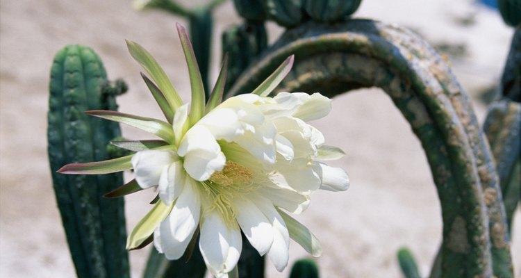 Los cactus requieren un lugar seco a pleno sol.