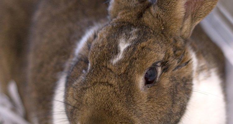 Estase gastrointestinal é uma afecção comum em coelhos