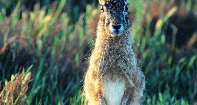 Las liebres tienen orejas largas y distintivas.