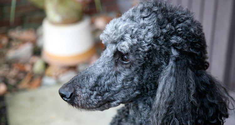 O pelo no rosto de um Poodle é mais frequentemente cortado curto