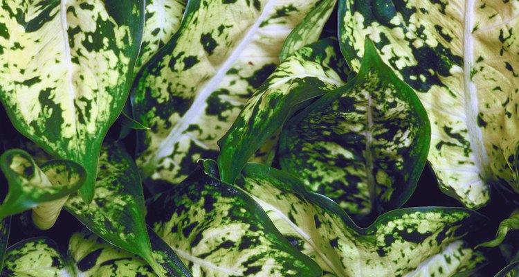 Plantas de comigo-ninguém-pode são amadas pela sua folhagem tropical e colorida