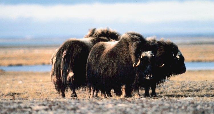 El buey almizclero está relacionado con los mastodontes y los mamuts.
