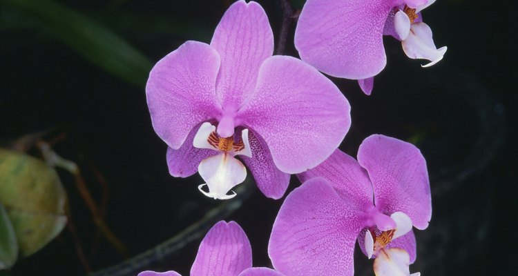 There are over 25,000 different orchid species.
