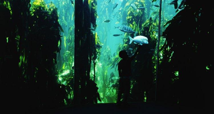 Los peces molly son ideales para los tanques de principiantes y vienen en muchas variantes.
