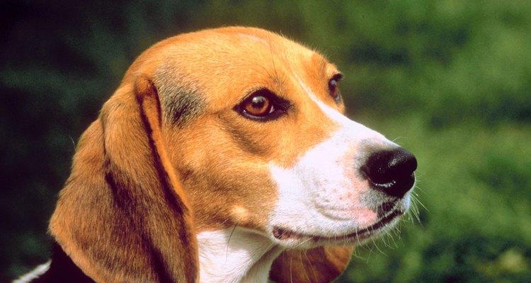 Mantenha o seu beagle limpo para que ele não deixe sua casa fedorenta