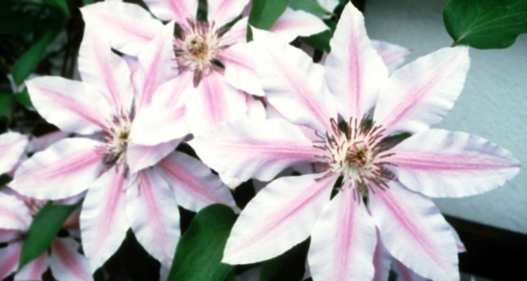 With more than 400 cultivars of clematis, identification can be tricky.