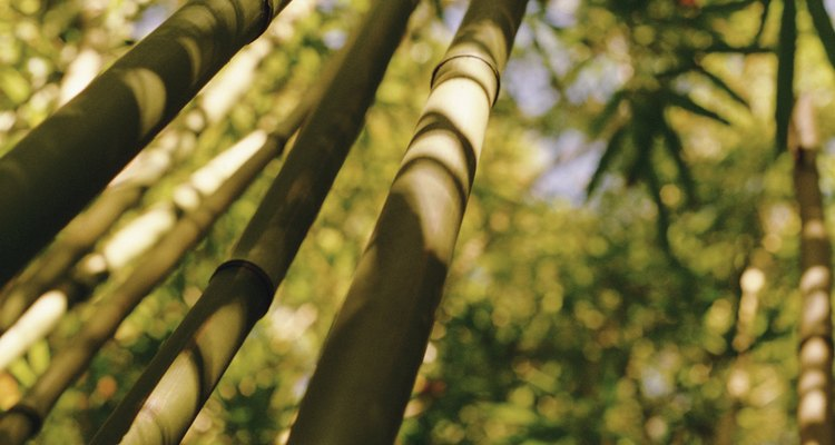 Some species of bamboo reach the height and thickness of trees.