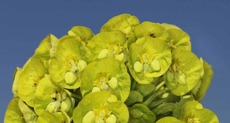 Euphorbia is a large genus of diverse plants.