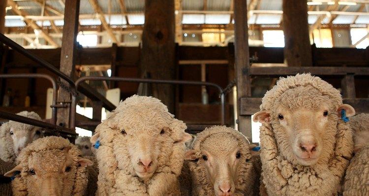 En primavera, la oveja espera su turno con la esquiladora.