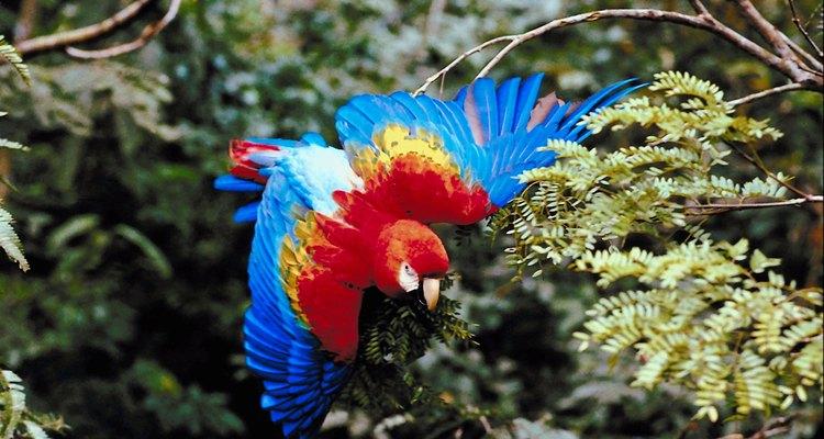 Papagaios selvagens usam grandes quantidades de energia para voar