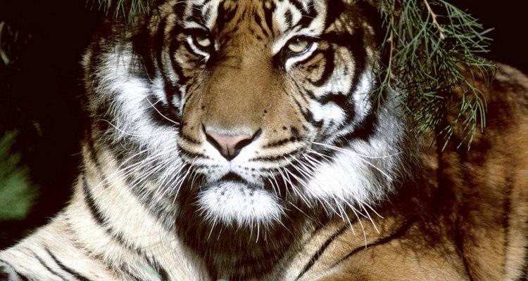 Los tigres son la especie de felinos más grande del mundo.