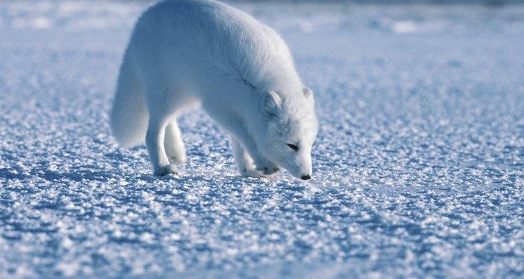 Los niños ven al zorro Ártico como un animal lindo y amigable.