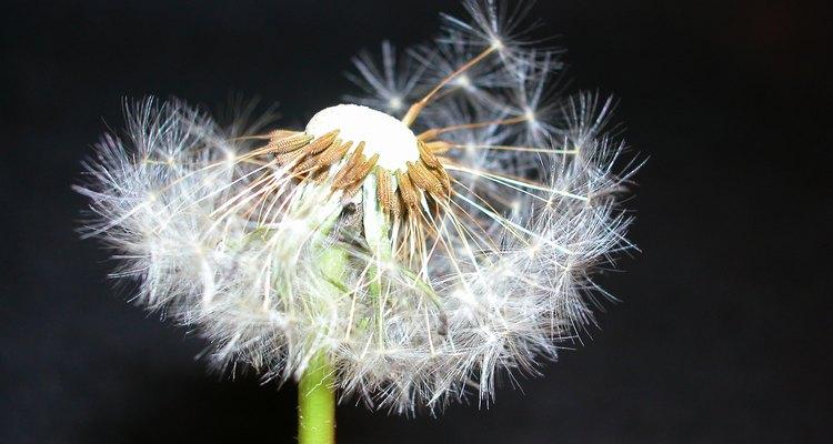 Las semillas de diente de león flotan en el aire luego de una brisa suave.