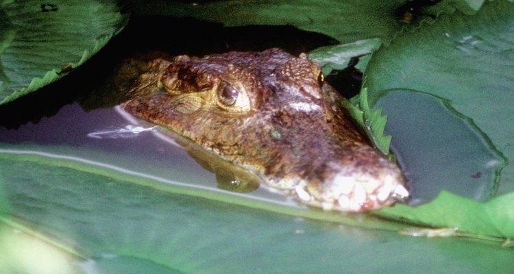 El zoológico es el lugar perfecto para aprender sobre cocodrilos.