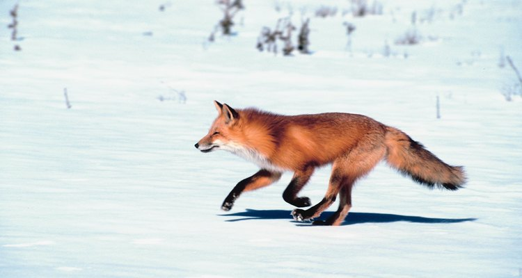 The traditional red fox is copper red with a black stripe down the back.
