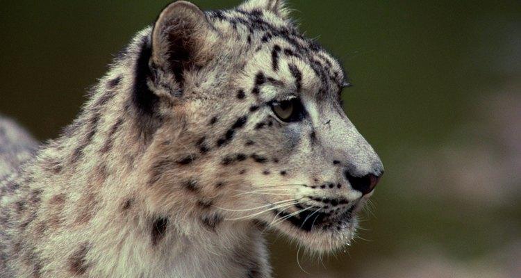 O leopardo-asiático pode algumas vezes ser criado como gato doméstico