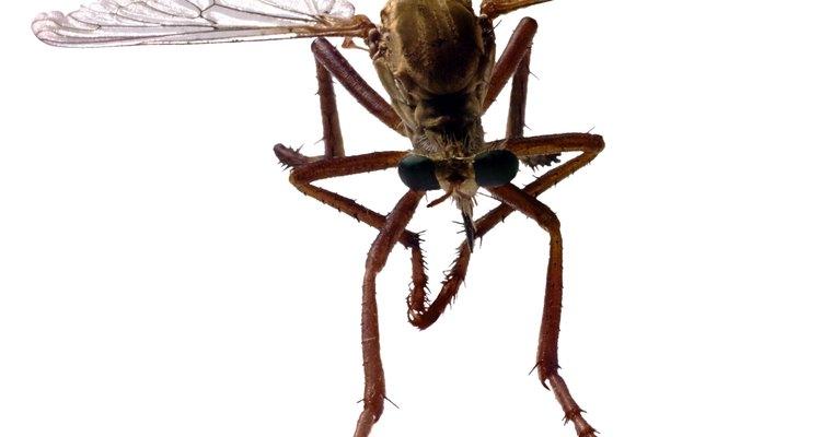 Pequenas moscas que picam são incômodas e podem transmitir doenças