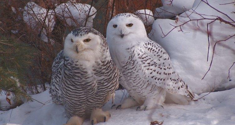 Machos y hembras de los búhos nevados tienen diferentes marcas.