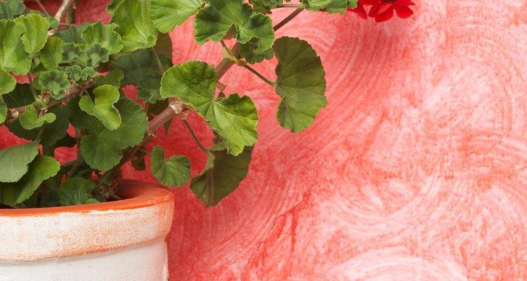 Los geranios sanos tienen tallos, hojas y flores verticales.