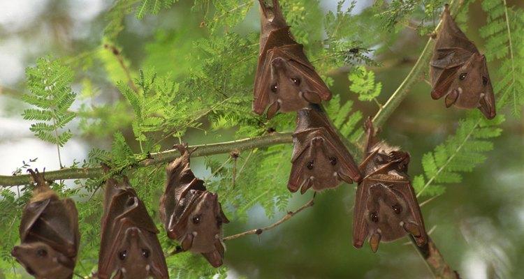 Los murciélagos que están los árboles pueden contaminar tu propiedad con sus heces y orina.
