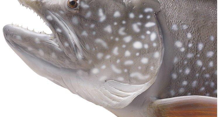 Os vermes de guelras podem fazer com que as guelras do peixe fiquem avermelhadas