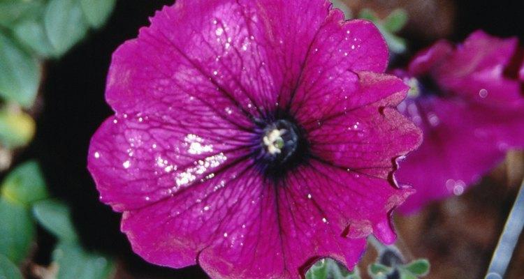 Doenças virais podem manchar, descolorir e até deformar as flores