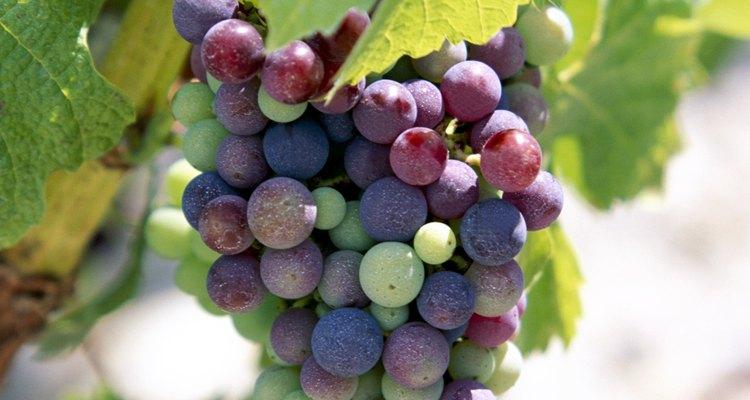 Las variedades de uva de hoy en día son deliciosas cuando se consumen de inmediato.