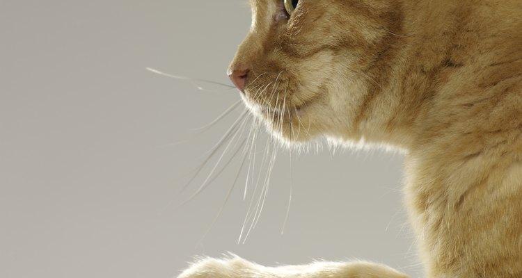 Los gatos tienen un número diferente de dedos en sus patas delanteras y traseras.