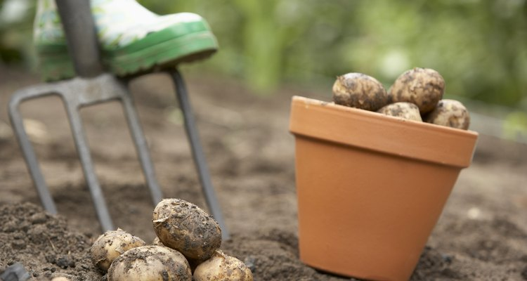 Unlike root crops, several tubers can grow per plant.
