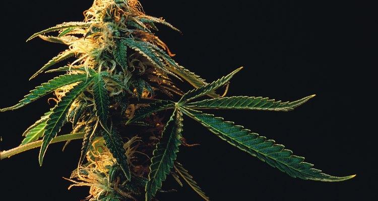 A planta de Cannabis selvagem é diferente e pode ser reconhecida