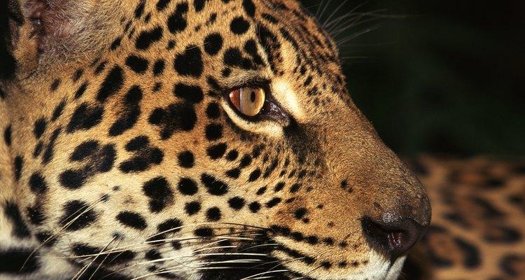 Debajo de las manchas, el manto de los jaguares puede ser amrillento, marrón o negro.