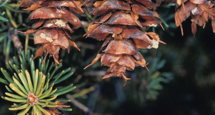 Distinctive cones help distinguish this Douglas-fir tree from true fir trees.