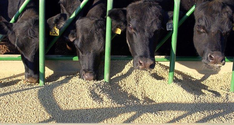 Una parte importante de las cosechas se destinan para alimentar ganado.