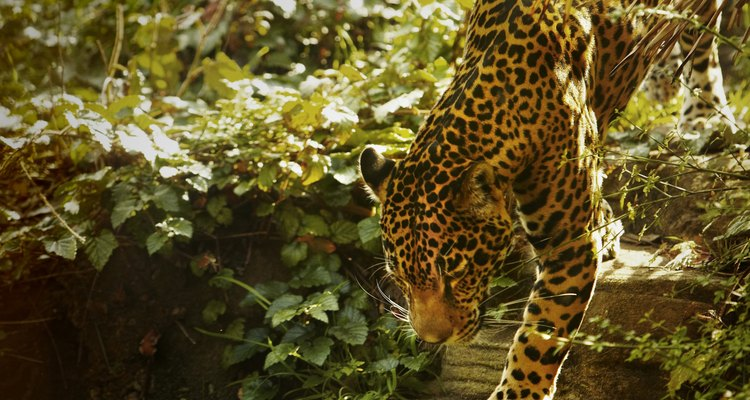 Mira a los leopardos, tigres y osos en el zoológico.