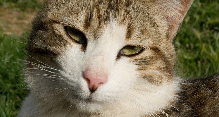 Prender um gato, seja selvagem ou doméstico, requer planejamento cuidadoso