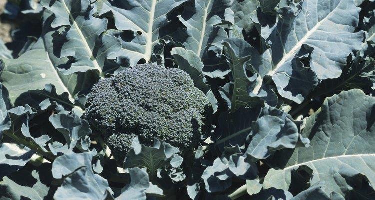 Algunos gusanos usan tu brócoli como hogar ideal y comida.