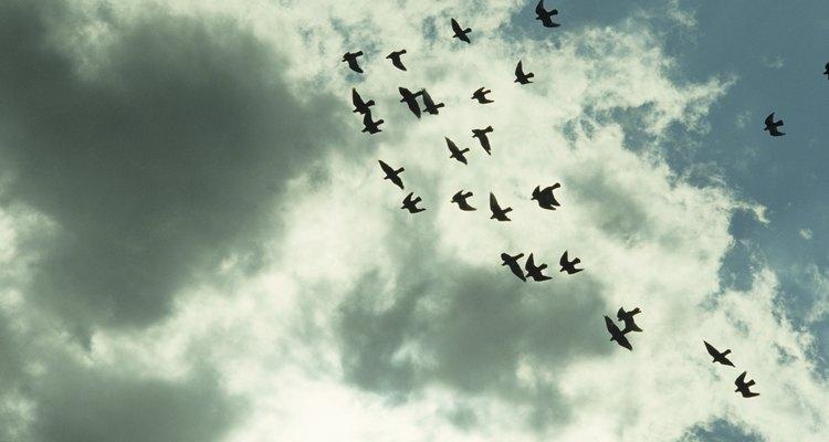 Las palomas pueden llevar mensajes atados a sus patas.
