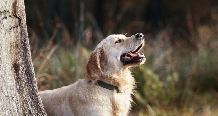 Cachorros podem perder suas vozes ao latir por muito tempo