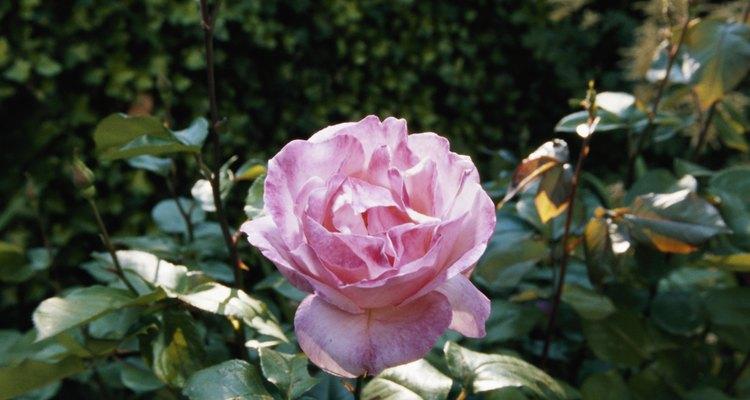 Las rosas son una deliciosa adición para cualquier jardín de flores.