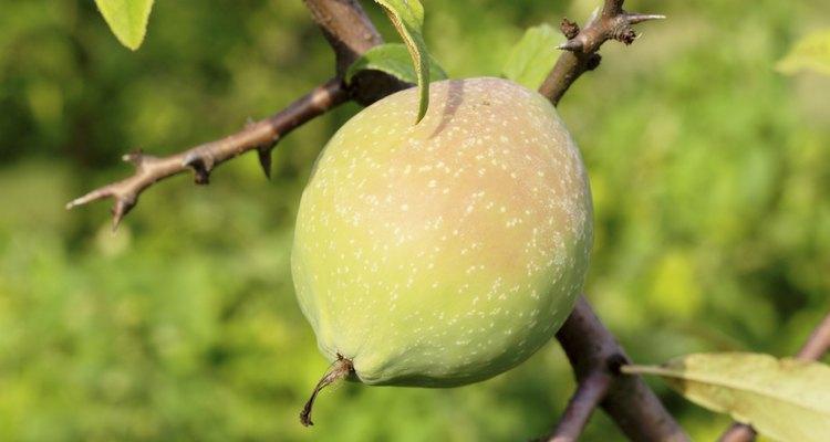 Árvores frutíferas possuem espinhos para se proteger de animais