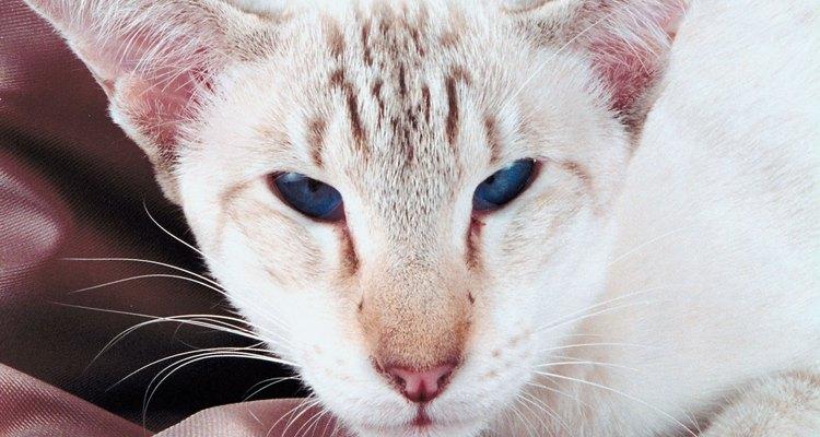 El gato Habana está todo el tiempo activo.