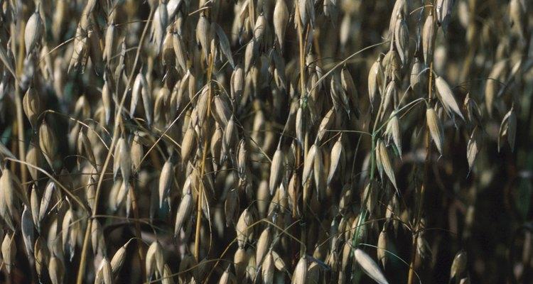 A aveia é um grão saudável cultivado em muitos países