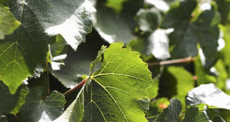 Bleach helps you kill small amounts of ivy.