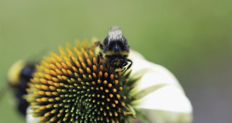 Las abejas son beneficiosas para las plantas pero pueden ser molestas para los humanos...