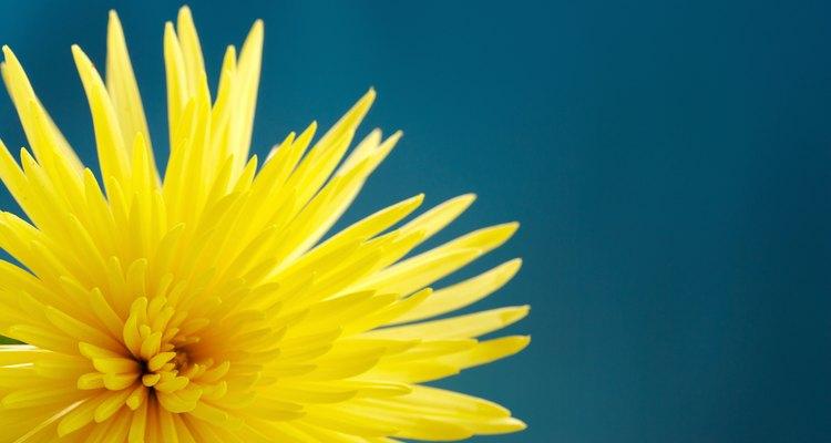 Crisântemos são flores adoráveis, ótimas em arranjos de outono