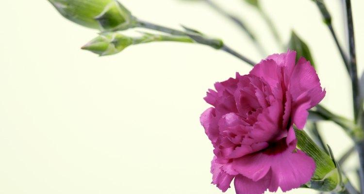 Los claveles crecen en varios colores, incluyendo el verde, amarillo, blanco, rojo y rosado.