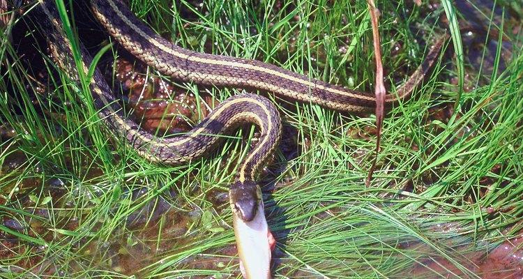Cobras sem veneno são fáceis de identificar devido as suas listras notáveis