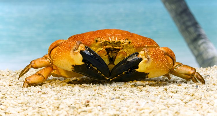 Raw meat attracts crabs.