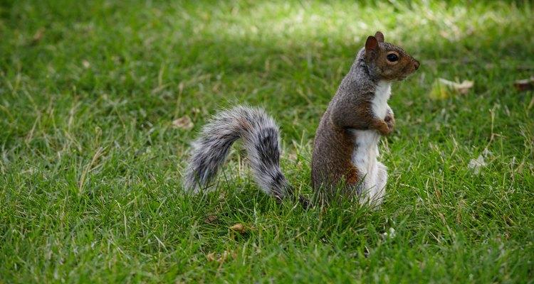 An Eastern Gray squirrel.